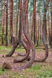 crooked forest in Gryfino in Poland - 147698328
