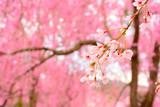 桜が咲く原谷苑
