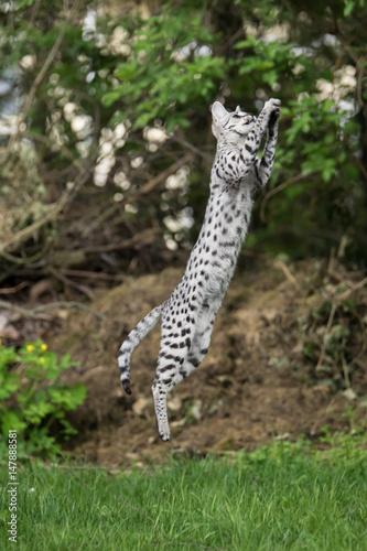 In de dag F1 Savannah Katze im Sprung