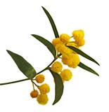 Close up of Acacia saligna - 147939542