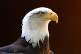 Portrait of a Bald Eagle with dark background