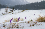 Irises under the snow. / Buds iris break out from under the snow, against the backdrop of the forest and mountains.