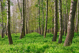 Birch forest. Birch Grove. White birch trunks. Spring sunny forest.