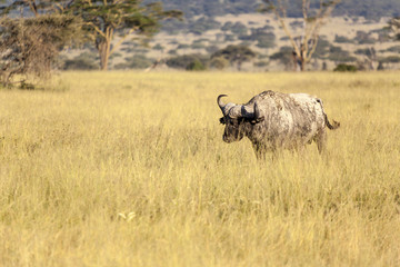 The African buffalo or Cape buffalo is a large African bovine. Tanzania Africa