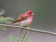 Male Purple Finch Perched on a Pine Tree Branch in Spring