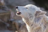 Tundra white polar wolf close up. Latin name - Canis lupus arctos