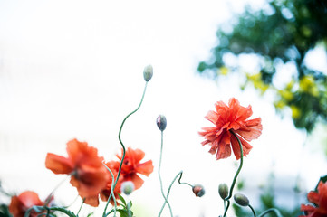 red poppy under natural conditions