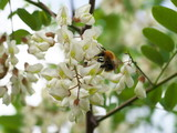 honey bee collects nectar on the white flower of acacia, bee pollinates the acacia flower, closeup - 148284917