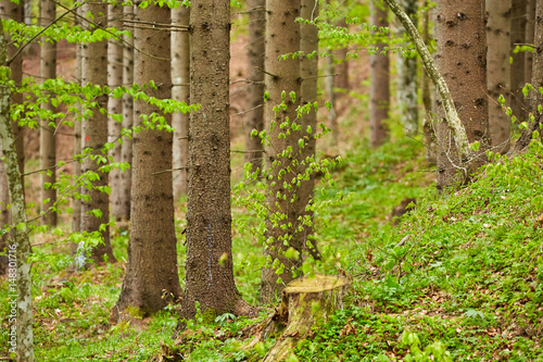 Forest of deciduous and coniferous trees