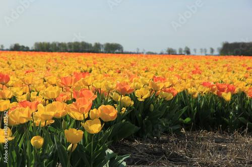 Poster Yellow and orange tulips