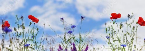 Poster Klaprozen Mohn, Kornblumen, blauer Himmel, Panorama