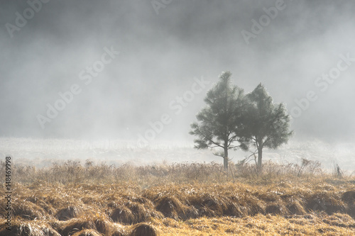 Couple of pine tree in the mystery fog, Yosemite National Park, California USA - 148469998