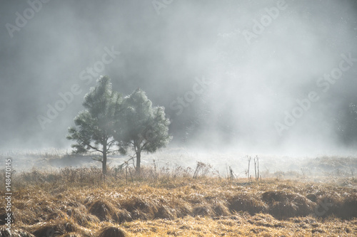Couple of pine tree in the mystery fog, Yosemite National Park, California USA - 148470145