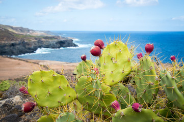 Cactus with cactus fruits, Canary Islands, Gran Canaria - Stock Photo