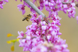 Bee foraging for pollen around a purple flowering tree