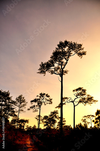 Poster Silhouette of forest pine tree on mountain