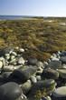 Seaweed, Southeastern Coast, Nova Scotia