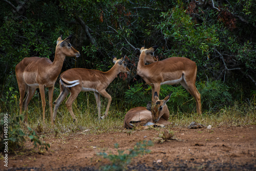 Poster impala in a group