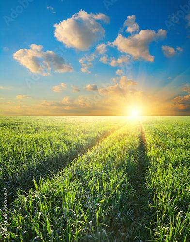 Green field  barley at sunset Poster