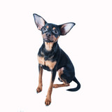 Toy Terrier isolated, puppy ,dog,pet