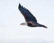 Bald eagle flying with white sky over the bay at Homer Alaska