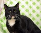 Beautiful black and white cat marquis portrait