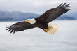 Bald eagle soaring over Alaska Bay near Homer