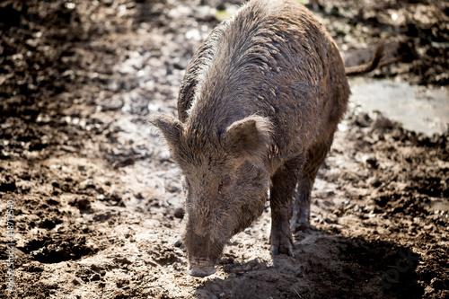 Big boar in the mud
