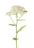Yarrow (Achillea millefolium) flower isolated on white background - 148714522