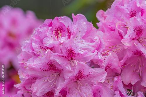 Aluminium Azalea Blooming pink rhododendron in the garden in springtime.