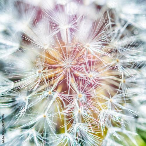 colorful dandelion close up