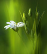 Surprisingly beautiful soft elegant white spring small flower with buds on a green background in the rays of sunlight macro. Beautiful exquisite graceful easy airy artistic image.