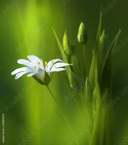 Zdjęcia na płótnie, fototapety na wymiar, obrazy na ścianę : Surprisingly beautiful soft elegant white spring small flower with buds on a green background in the rays of sunlight macro. Beautiful exquisite graceful easy airy artistic image.