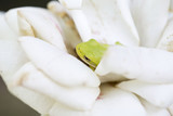 Green Tree Frog Hiding in Rose