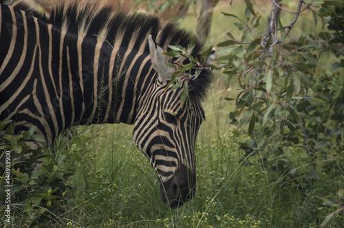 Poster Zebra grazing