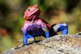 .A colorful lizard in the African savannah. Serengeti National Park. Africa.