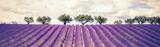 Beautiful Lavender field - 149191939