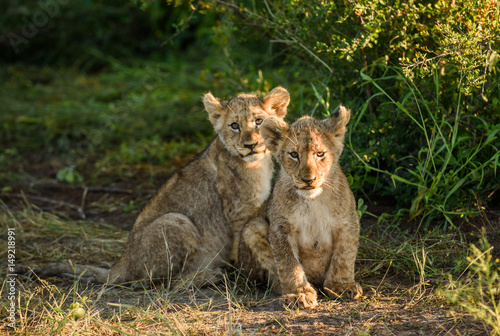 Two Lion cubs Poster