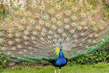 Peacock with tail fanned out