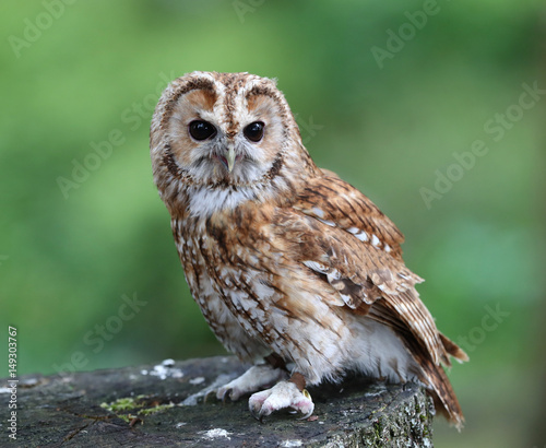 Close up of a Tawny Owl perched on a tree stump