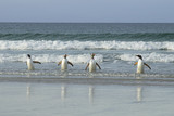 Four Gentoo penguins walking together on the beach at Falkland Islands.