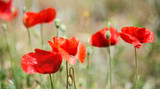 wild poppies background