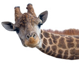 Giraffe head face - 149361596