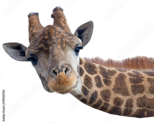 Giraffe head face