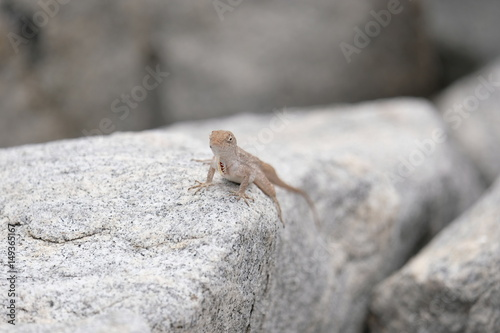 Small gecko posing on a rock Poster