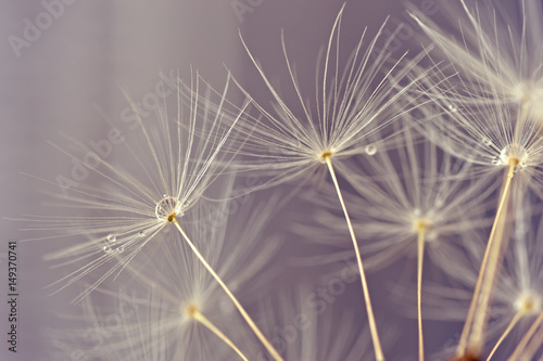 Abstract macro of dandelion seeds - 149370741