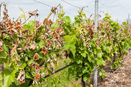 Damage on a vineyard, hit by a late frost in spring