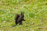 Red-haired squirrel