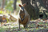 Australian Swamp Wallaby - Elanora Qld Australia