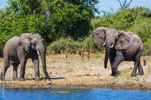 Poster African elephants in the Okavango Delta